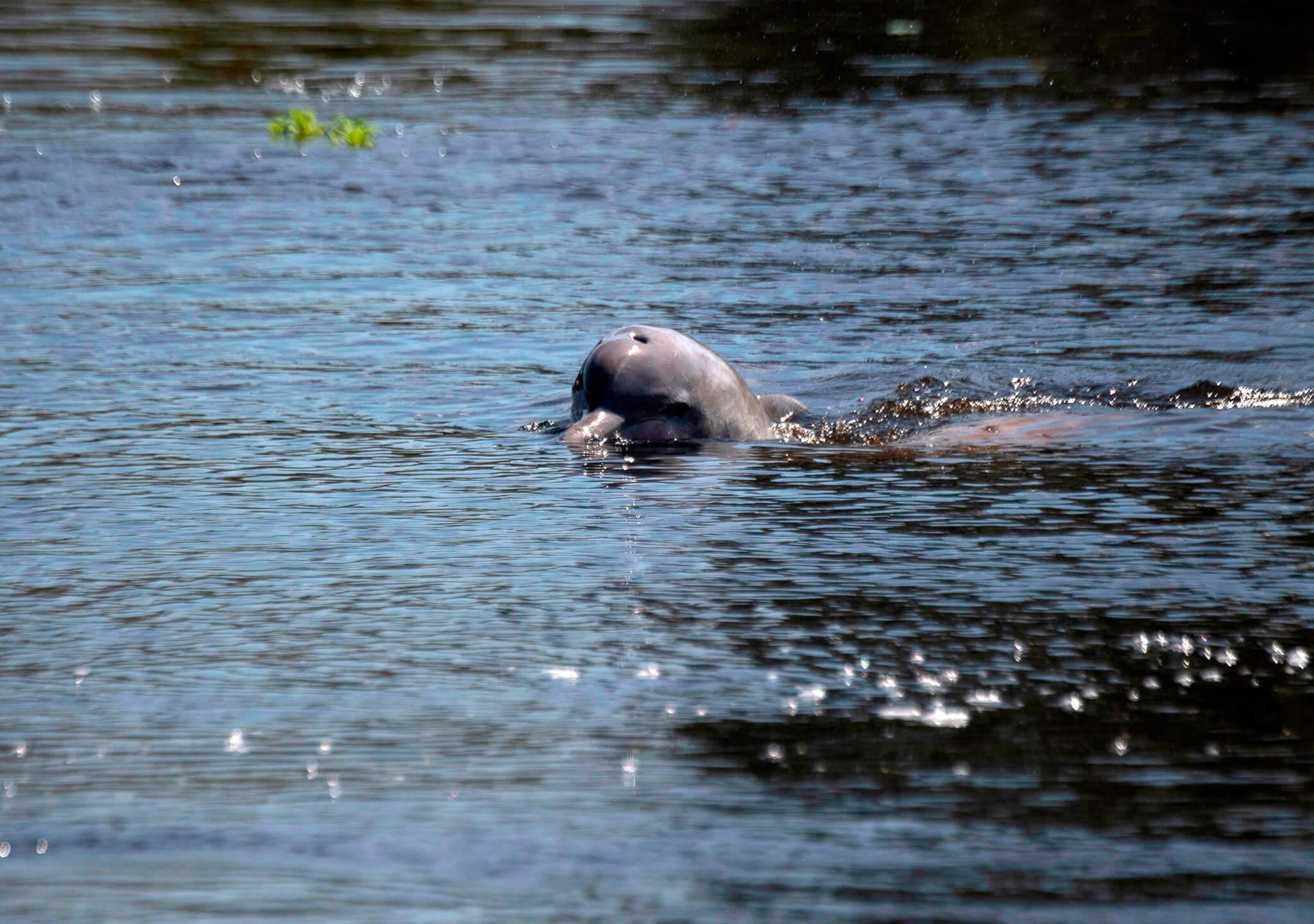 De la familia de los delfines oceánicos