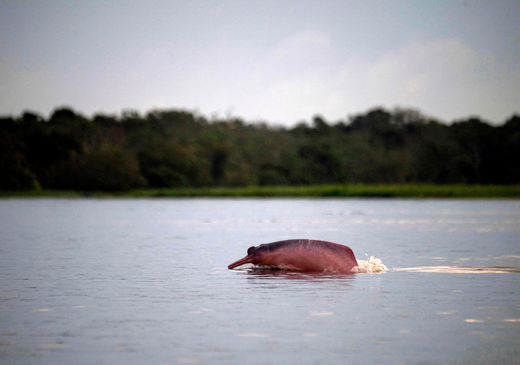 El escurridizo delfín rosado