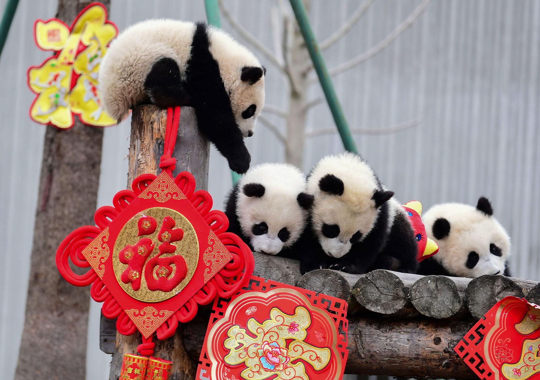 Los pandas celebran también el año del cerdo
